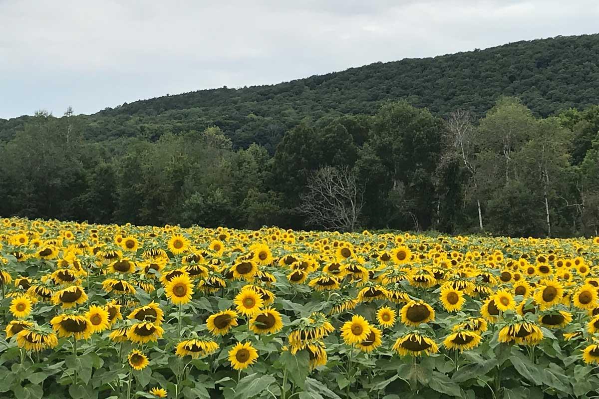 Field of Sunflowers, New York